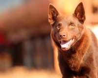 Red Dog, 2013 WASA winner of Best Feature Film - Drama.
