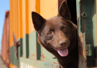 KOKO: A RED DOG STORY gets 9/10 Tale of a tail